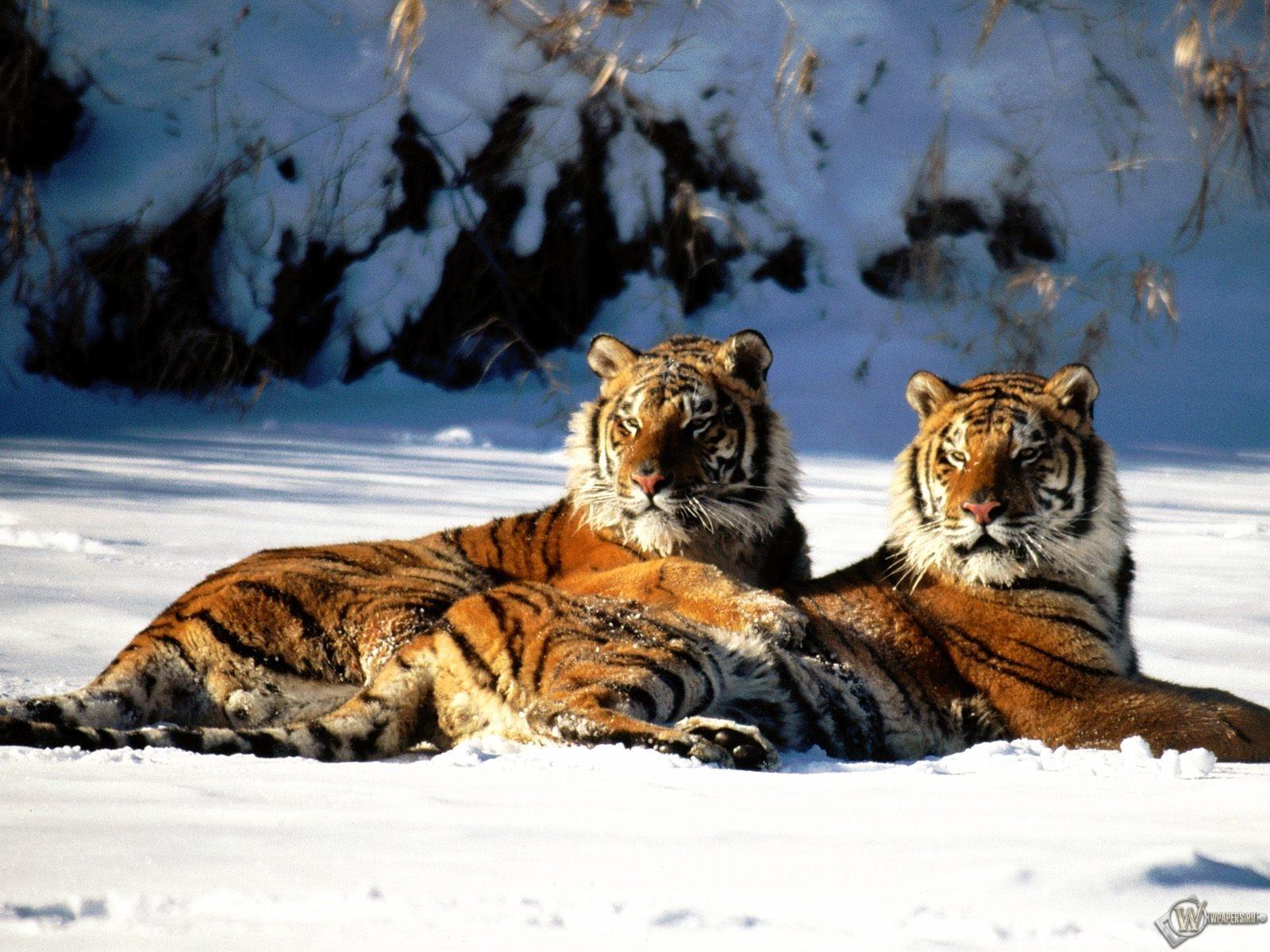 Два тигра на снегу 1600x1200