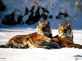 Обои Два тигра на снегу: , Тигры