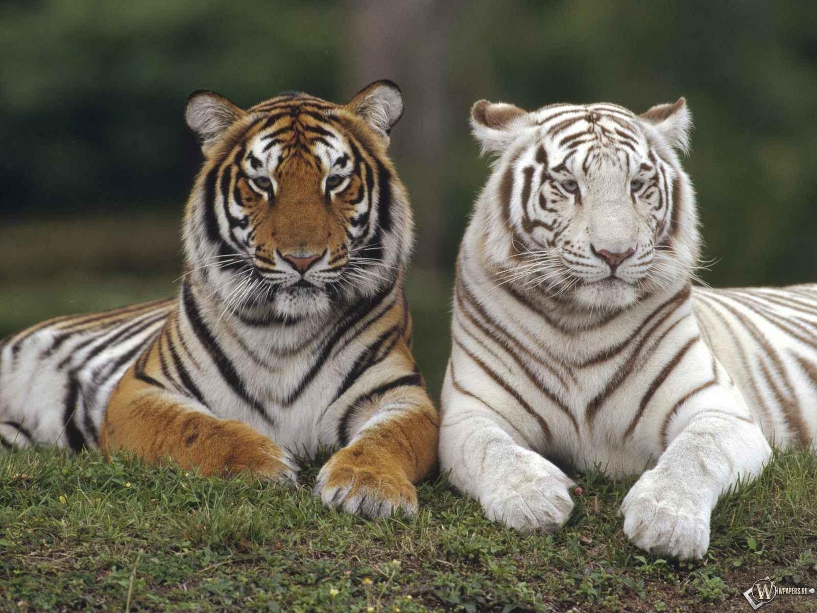 Белый тигр и серый тигр 1600x1200