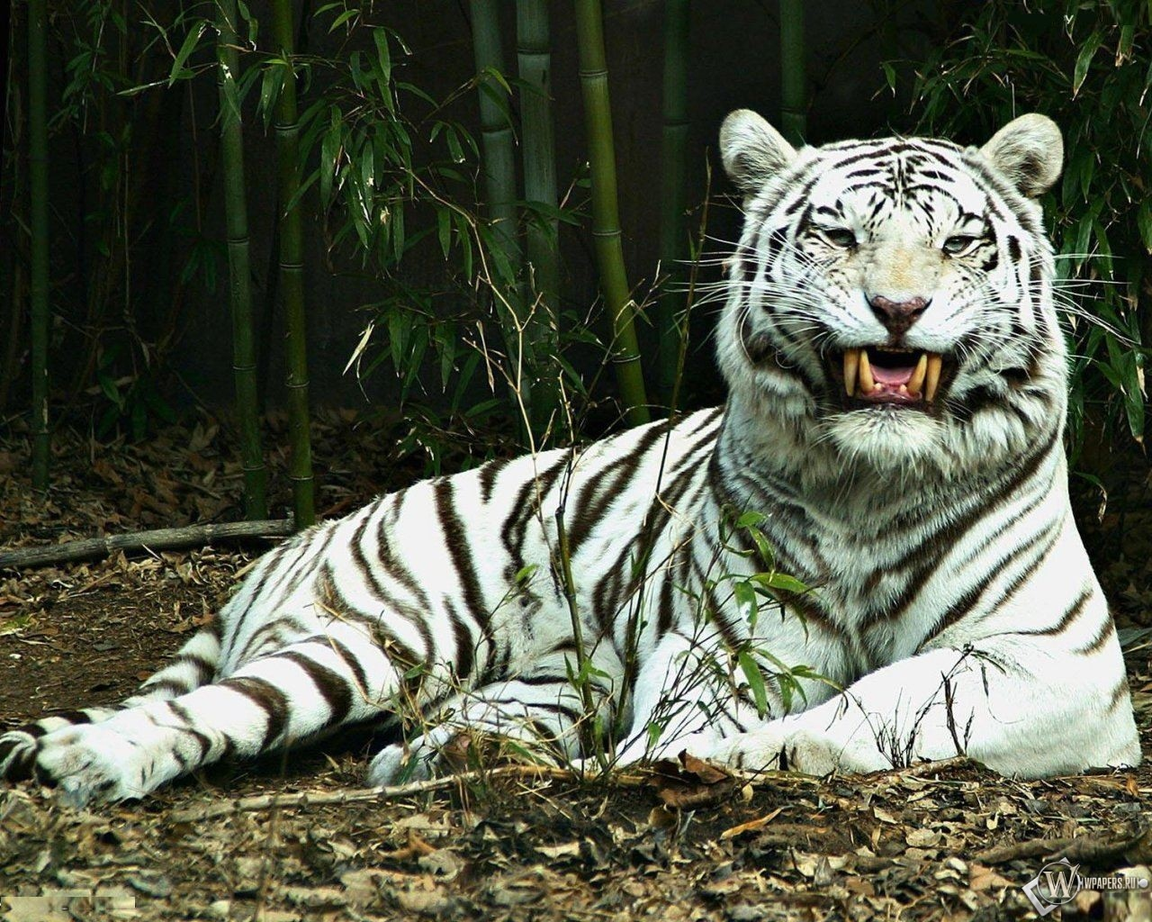 Белый тигр улыбается 1280x1024