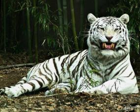 Обои Белый тигр улыбается: Белый тигр, Тигры