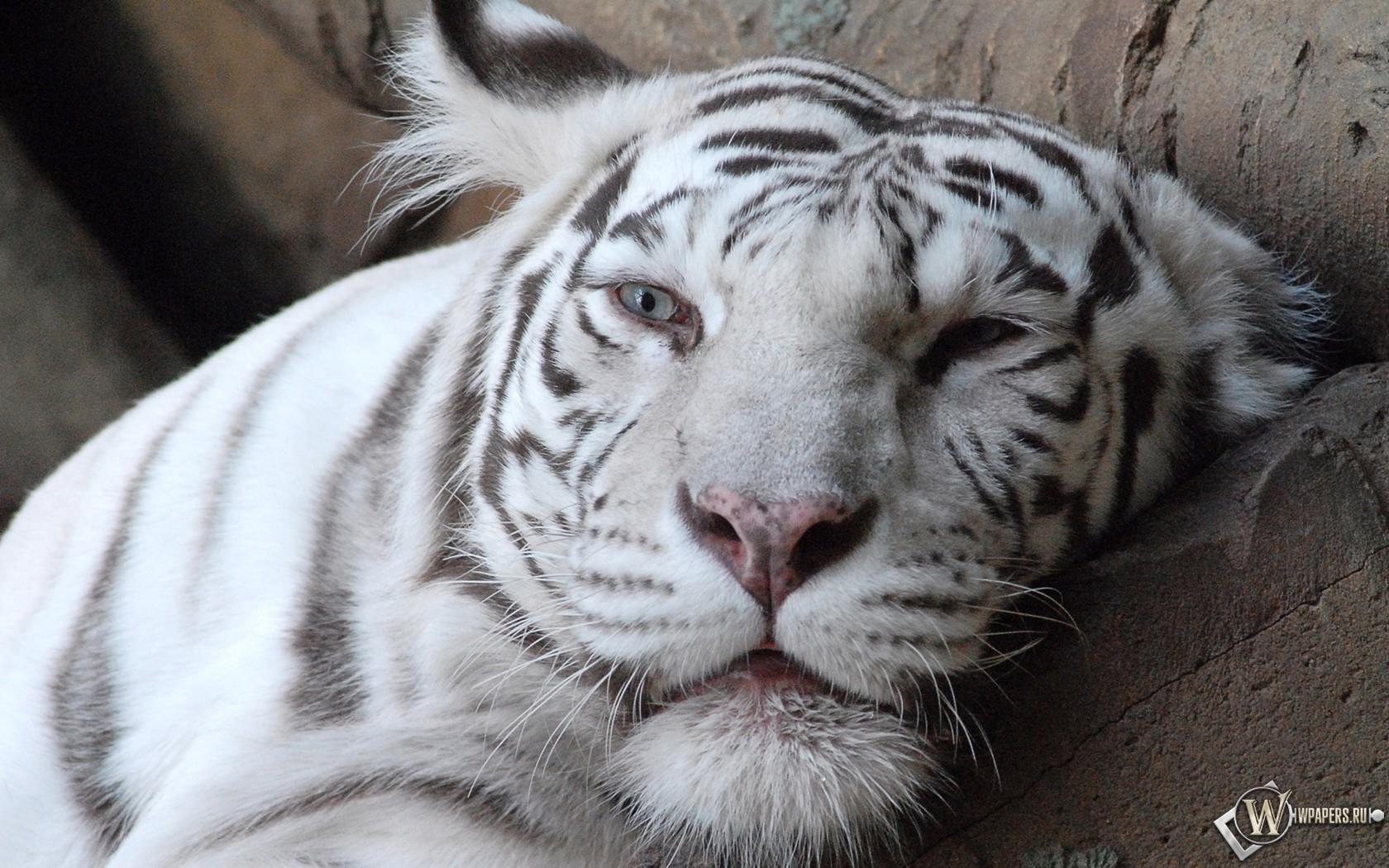 Морда белого тигра 1680x1050
