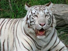 Обои Уставший белый тигр: Бенгальский тигр, Белый тигр, Тигры