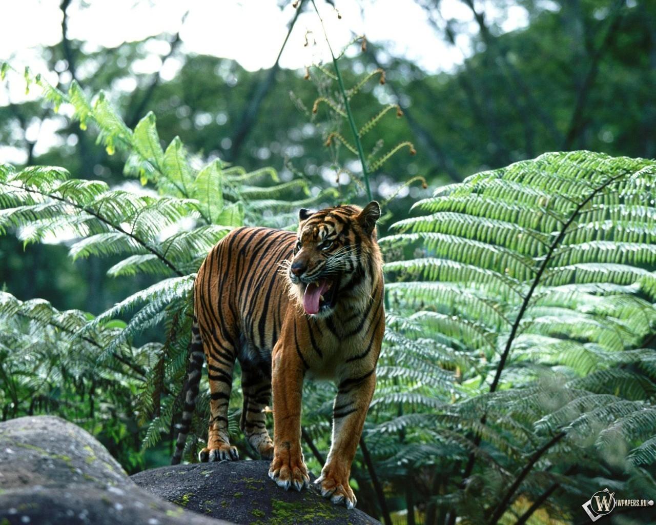 Sumatran Tiger 1280x1024