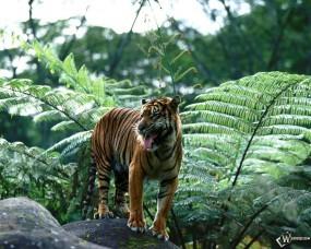 Обои Sumatran Tiger: , Тигры