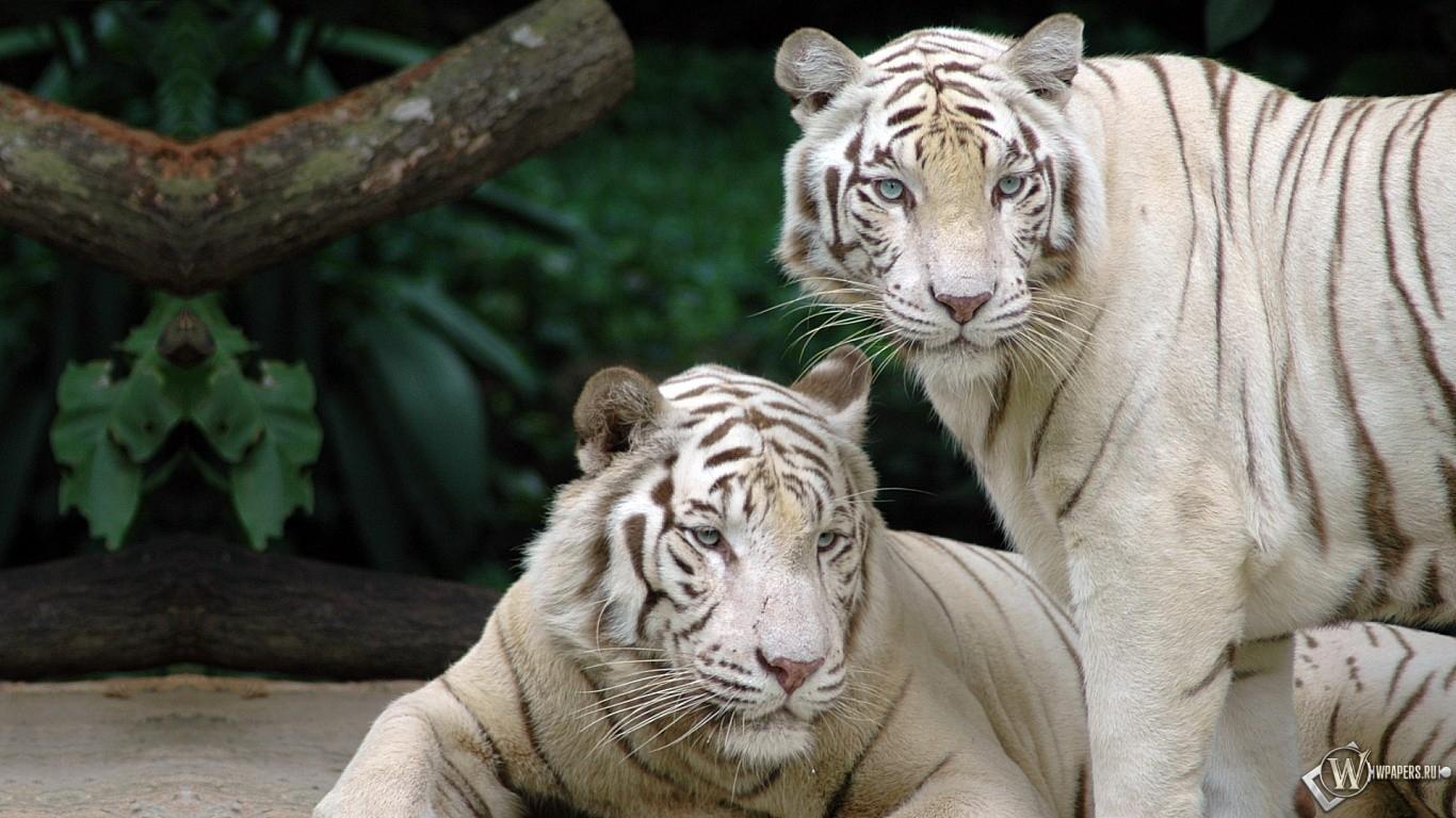 Два белых бенгальских тигра 1366x768
