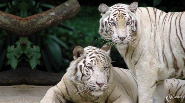 Два белых бенгальских тигра