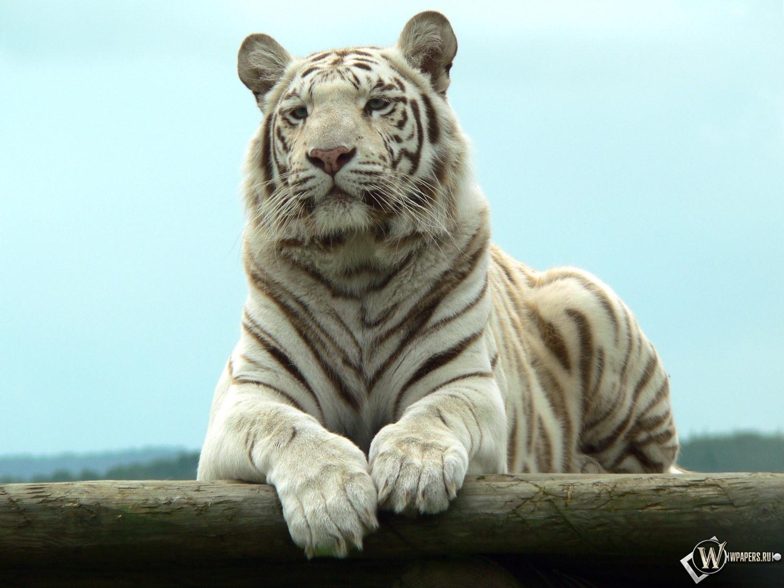 Белый тигр отдыхает 1600x1200