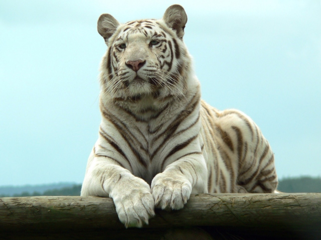 Белый тигр отдыхает