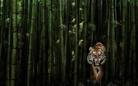 Обои Тигр в бамбуке: Хищник, Тигр, Бамбук, Тигры