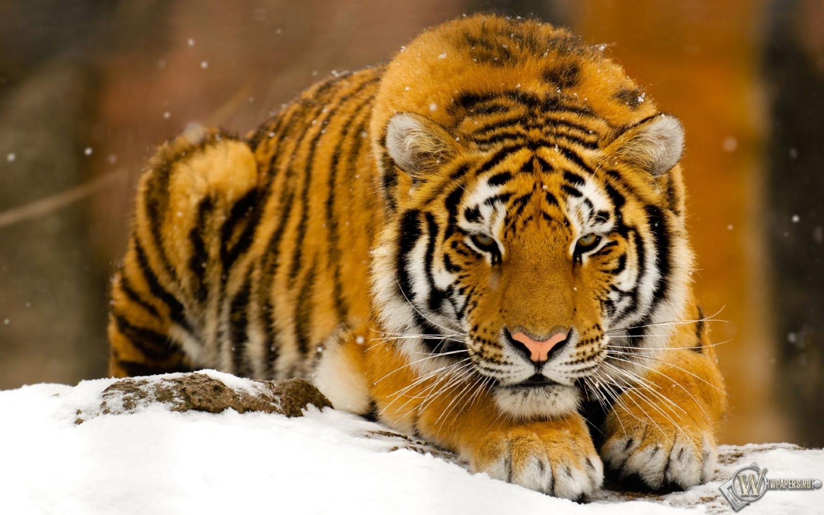 Обои лежит, на снегу, Хищник. Животные foto 6