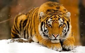 Тигр лежит на снегу