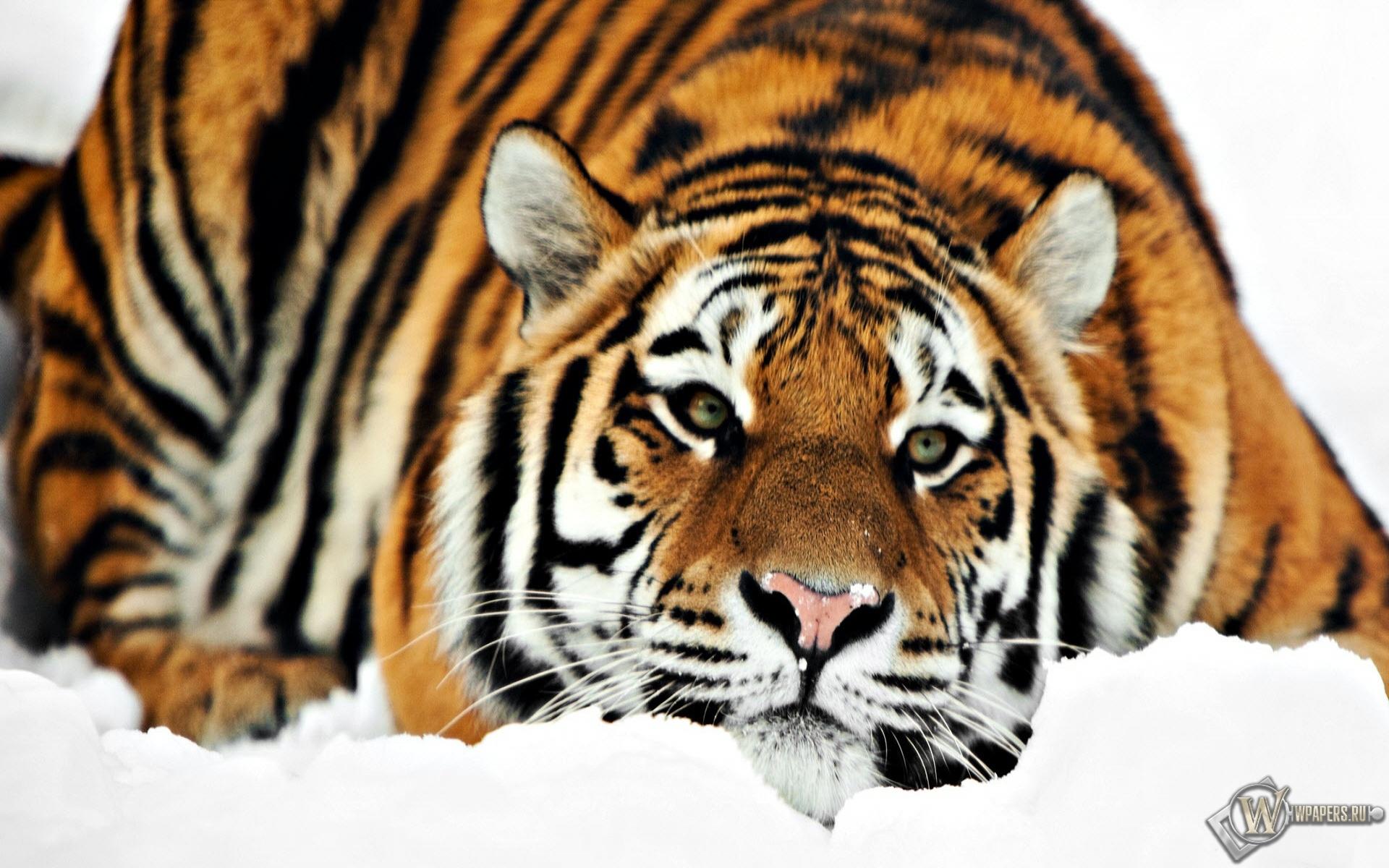 Тигр на снегу 1920x1200