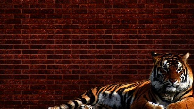 Тигр у стены