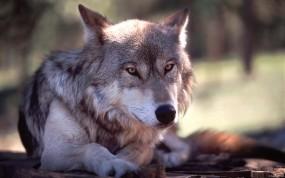 Обои Волк: Волк, Серый, Животное, Волки