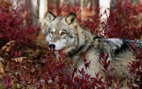 Обои Волк в красных листьях: Взгляд, Волк, Листья, Волки