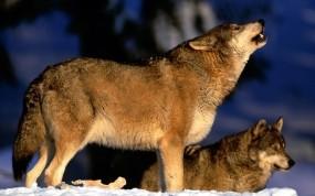 Обои Вою на луну: Волк, Стая, Вой, Волки