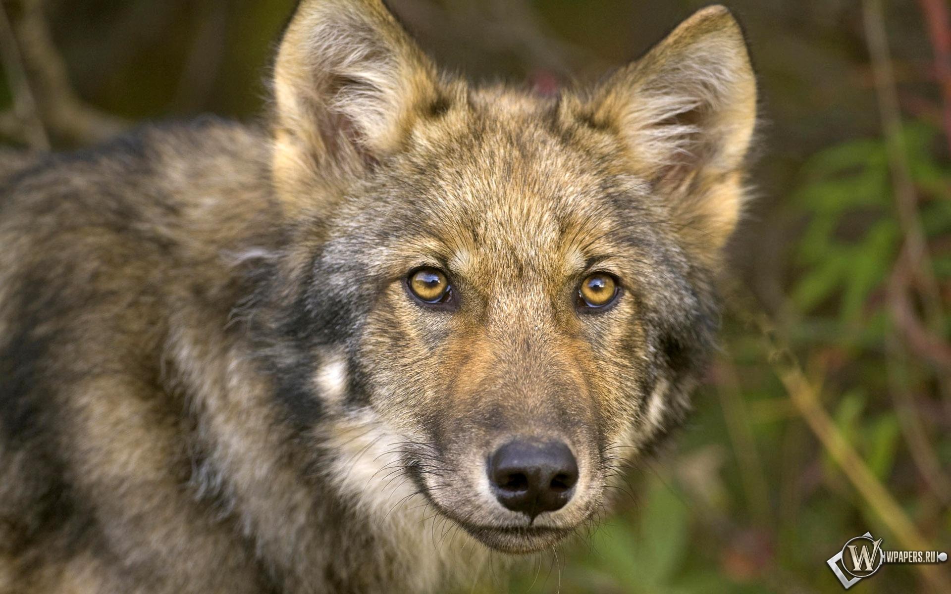 Взгляд волка 1920x1200