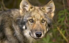 Обои Взгляд волка: Глаза, Морда, Волк, Волки