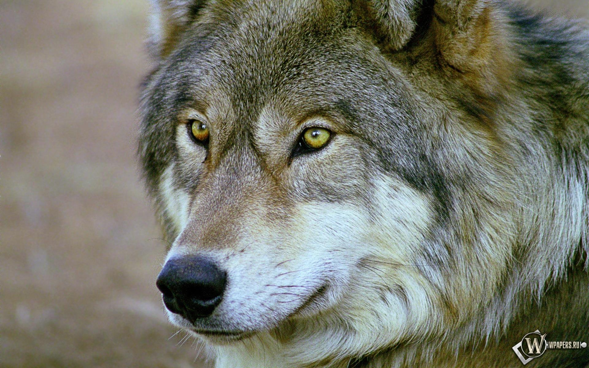 Волк 1920x1200