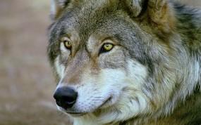 Обои Волк: Глаза, Взгляд, Волк, Волки