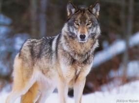 Обои Волк: Снег, Холод, Волк, Волки