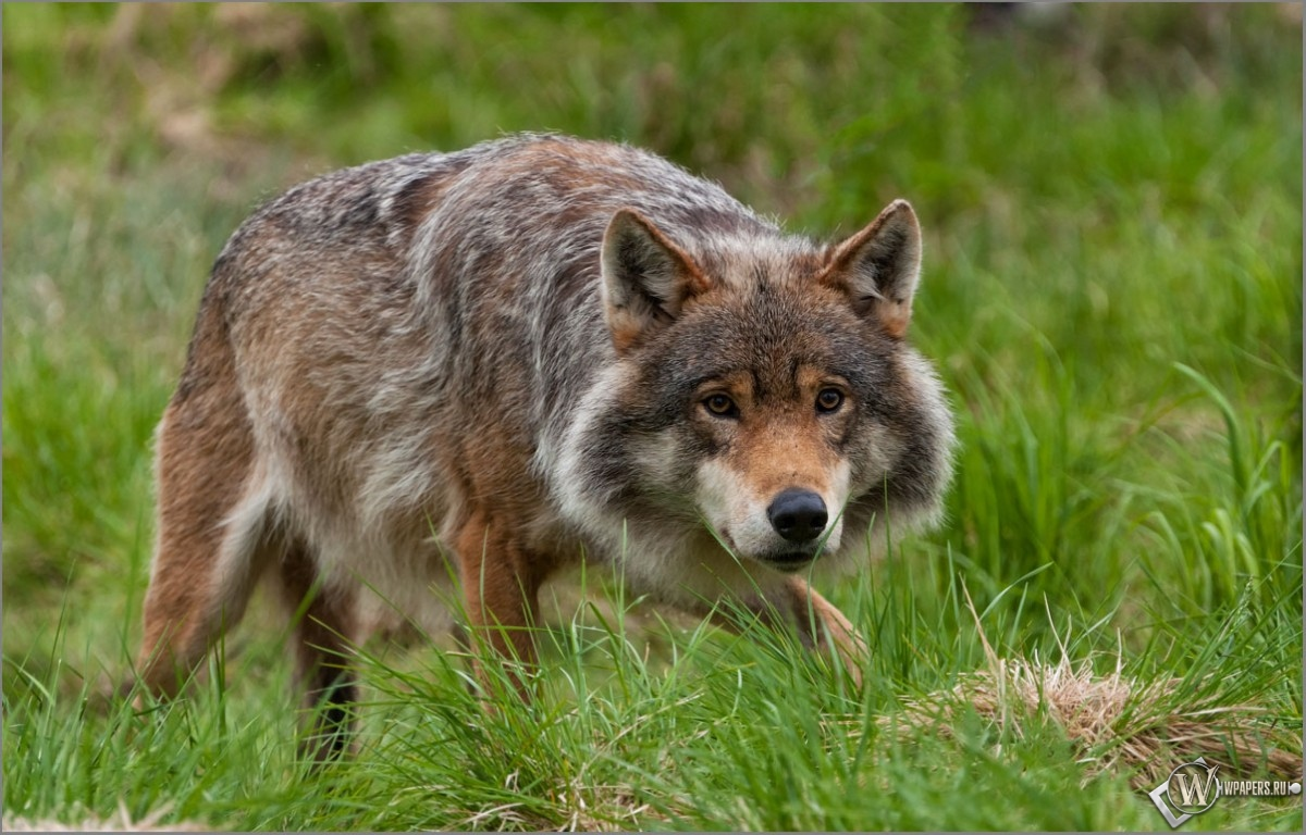 Крадущийся волк 1200x768