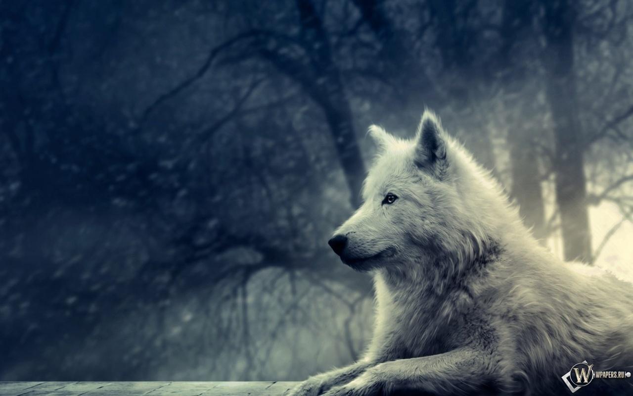 Волк в зимнем лесу 1280x800
