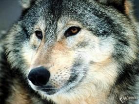 Обои Волк: Волк, Волки