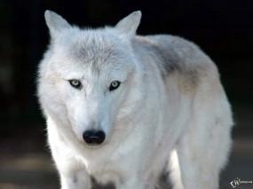 Обои Белый волк: Взгляд, Белый волк, Волки