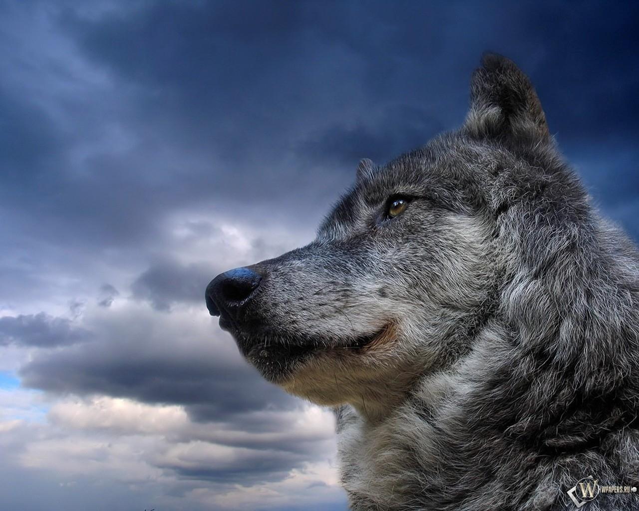 Волк на фоне неба 1280x1024