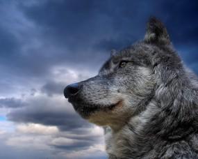 Обои Волк на фоне неба: Зверь, Волк, Небо, Волки