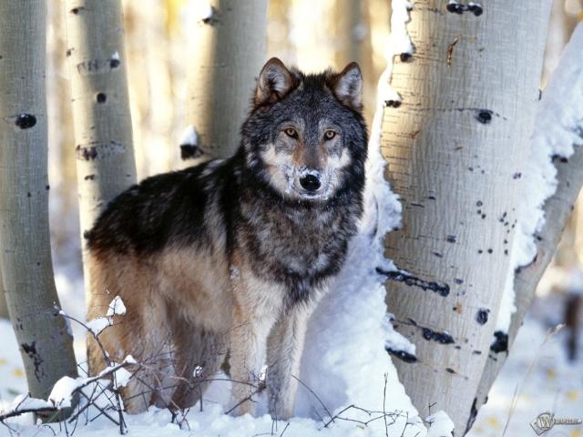 Волк у берез