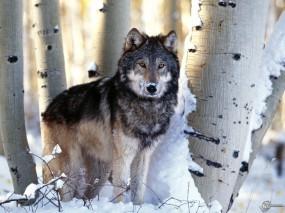 Обои Волк у берез: Берёзы, Волки