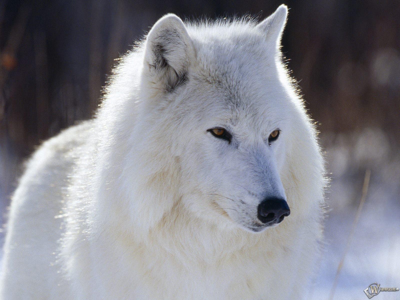Белый волк 1600x1200