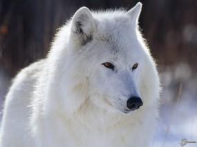 Обои Белый волк: Белый волк, Волки