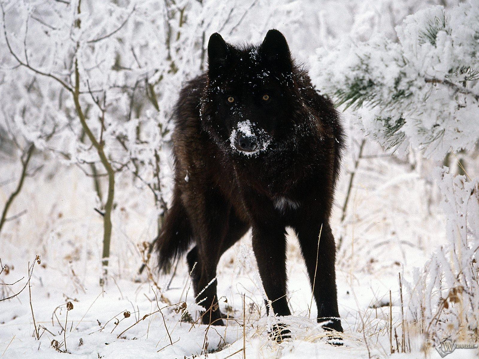 Черный волк на белом снегу 1600x1200