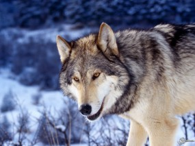 Обои Хитрый волк: Фото, Волк, Голова, Волки