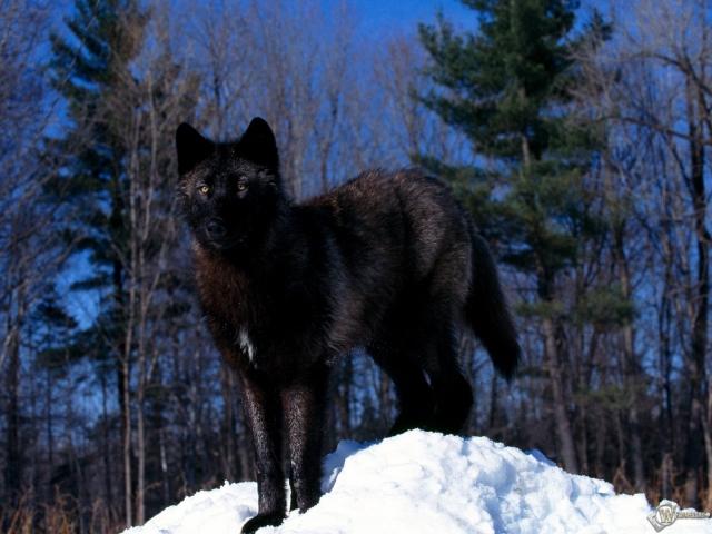 Черный волк на снегу