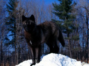 Обои Черный волк на снегу: Снег, Деревья, Черный волк, Волки