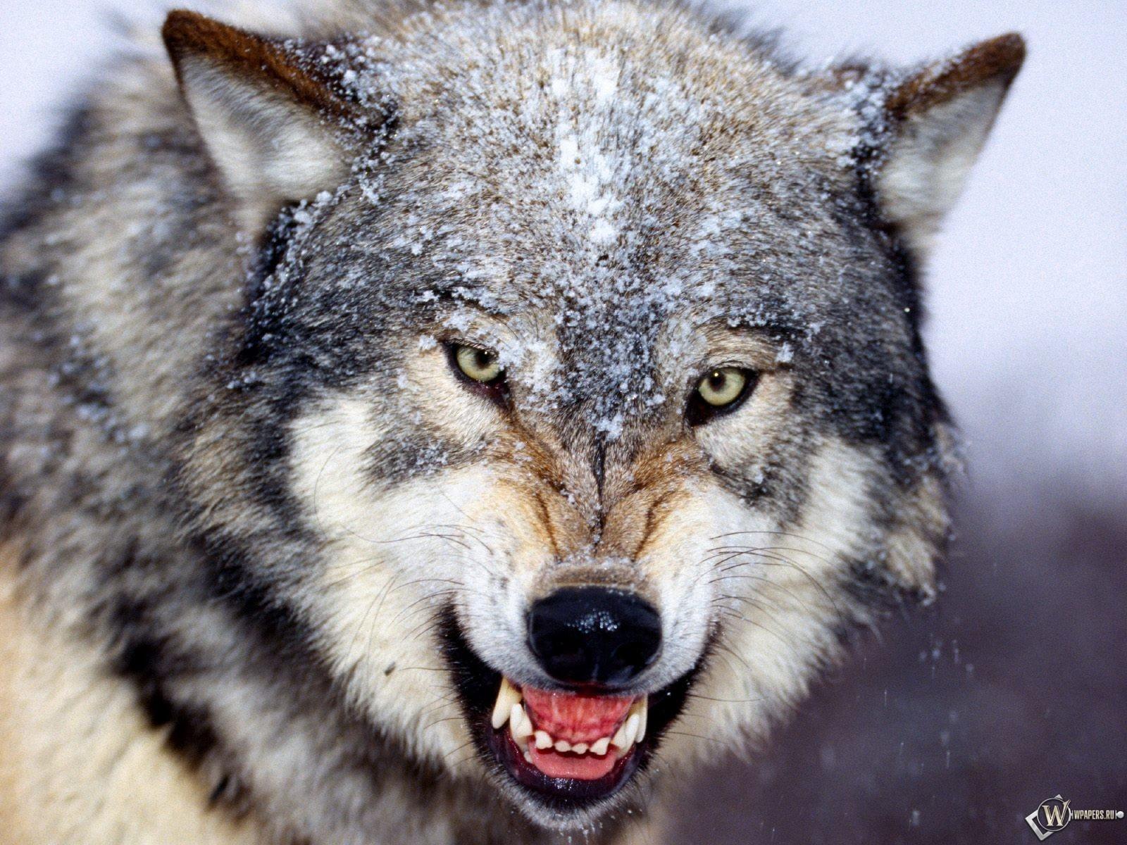 Злой волк 1600x1200