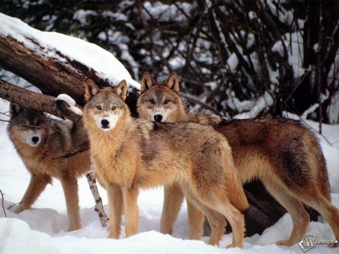 Три волка 1152x864