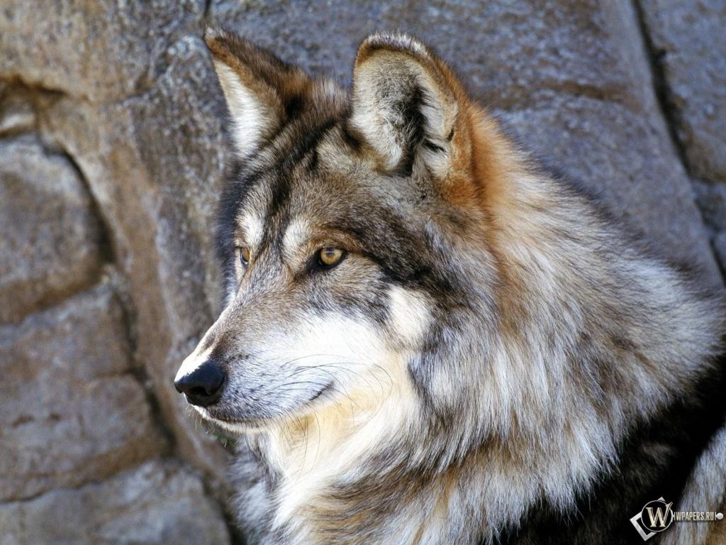 Красивый волк 1024x768