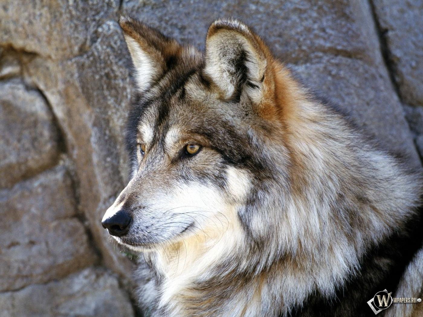 Красивый волк 1400x1050