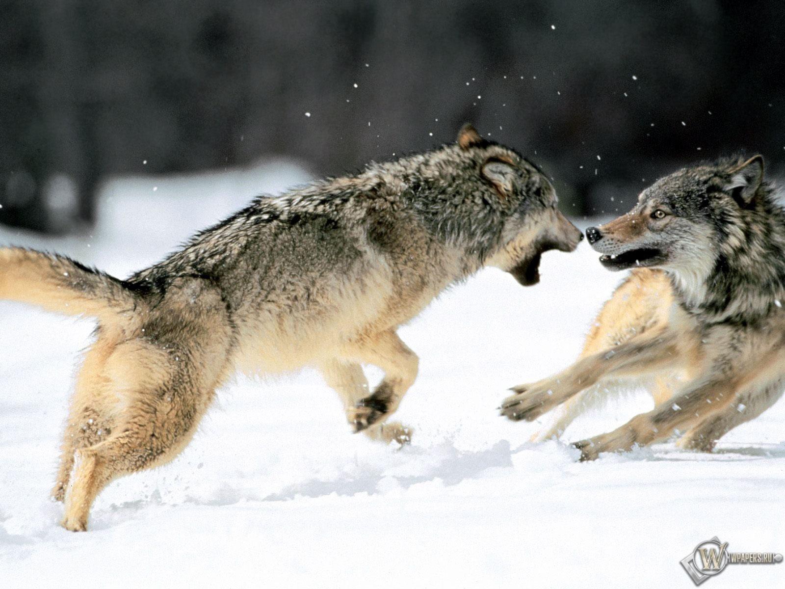 Драка волков 1600x1200