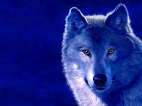 Обои Волк на голубом фоне: Морда, Волк, Голубой, Волки