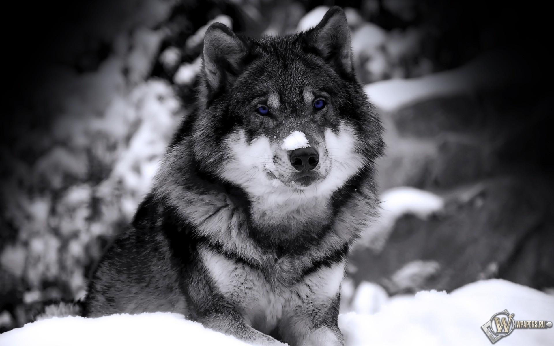 Волк ч/б 1920x1200