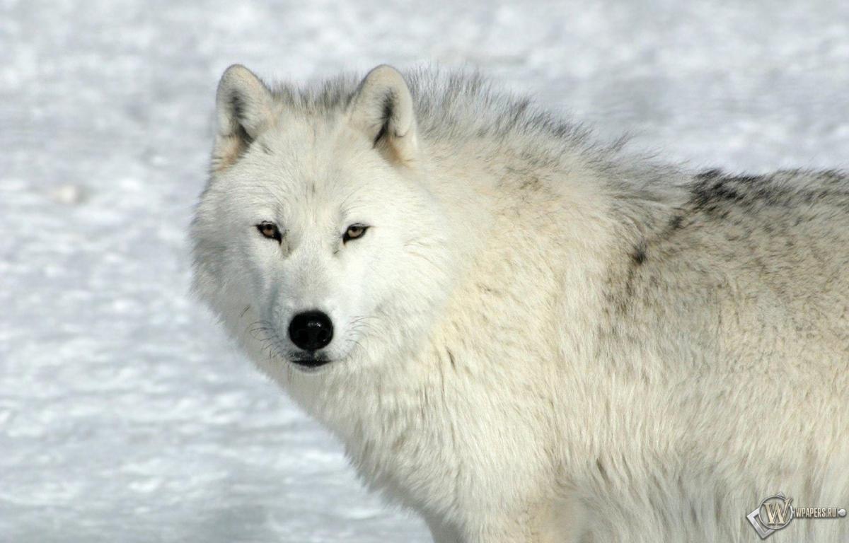 Обои на рабочий стол белый волк