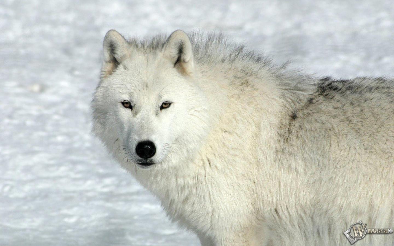 Задумчивый волк 1440x900