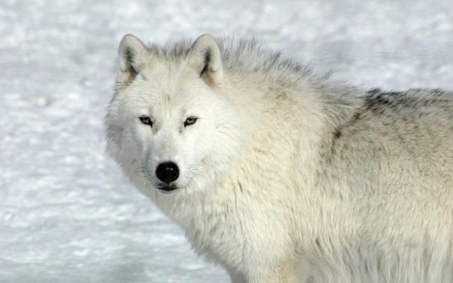 Задумчивый волк